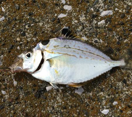 謎の小魚1