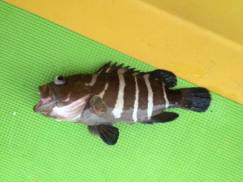 ↑I氏にマハタがヒット。高級魚です。